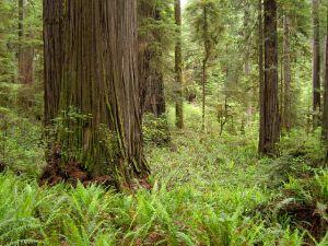 Redwoods Jedediah Smith Redwoods State Park