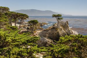 Lone Cypress on 17-mile Drive - Tuxyso / Wikimedia Commons, via Wikimedia Commons